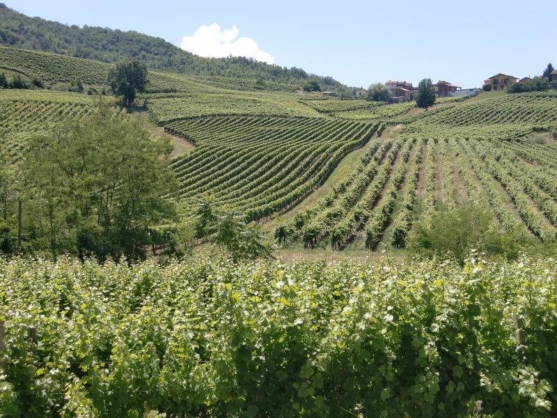 Si vede nella foto le dolci colline del Oltrepo Pavese, dove nasce il Bonarda con i vigneti in bei filari. Foto: Katrin Walter