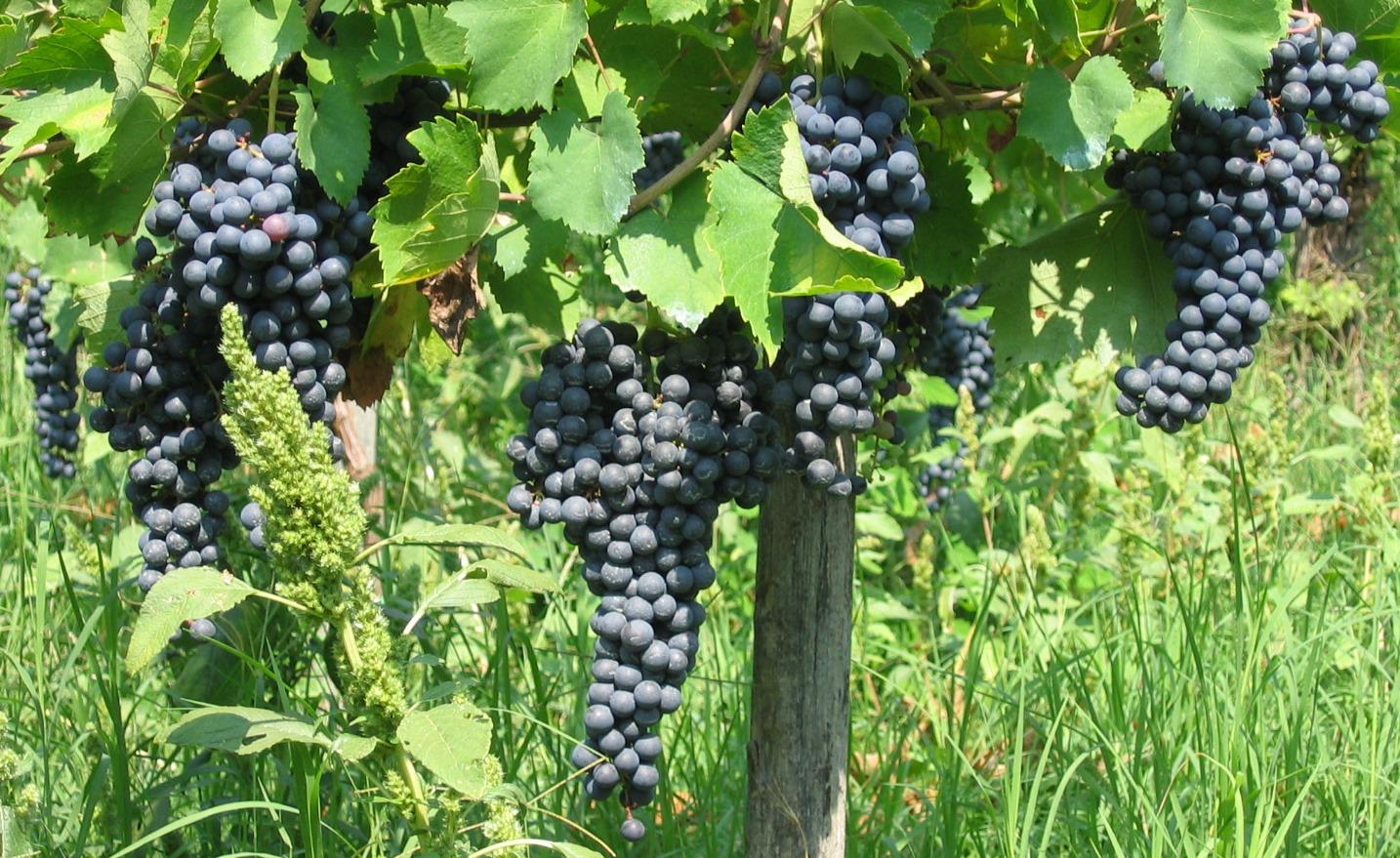Nella foto si vede le uve di Croatina di cui è fatto questo vino in Oltrepò. Foto: Tenuta Borgolano a Montescano