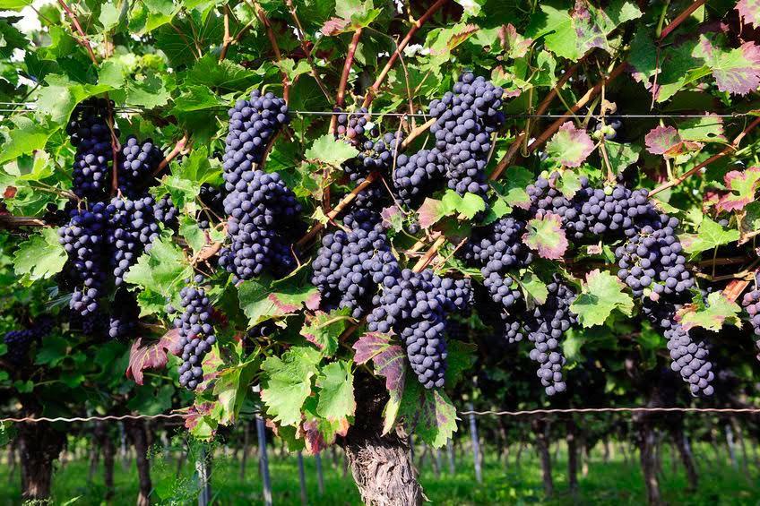 Foto di uva a bacca rossa in vigna - Pinot nero tedesco