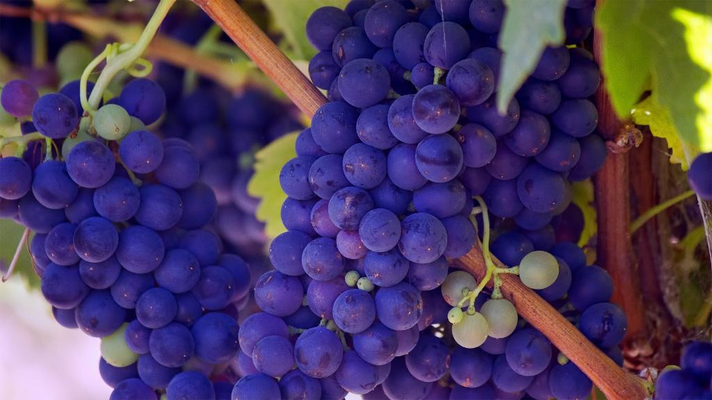 In Francia si beve sempre meno vino, qui per illustrare un bel grappolo di uve rosse in un colore shock-lila