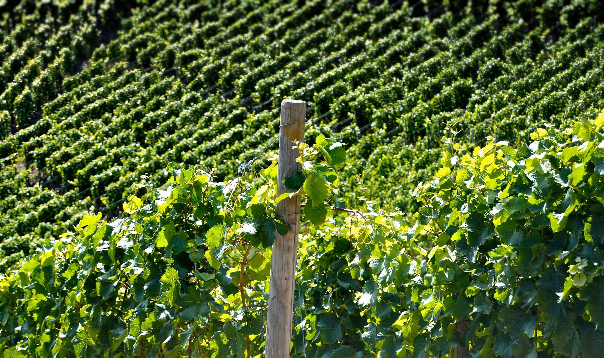 I vini per le degustazioni dei Best Of della pregiata guida dei vini Wein-Plus nascono qui, in vigneti sani e curati bene