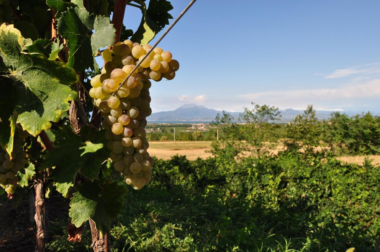 Un grappolo di Trebbiano di Lugana con la bella vista verso la montagna, nella zona produttiva di Lugana. foto: Consorzio Tutela Lugana