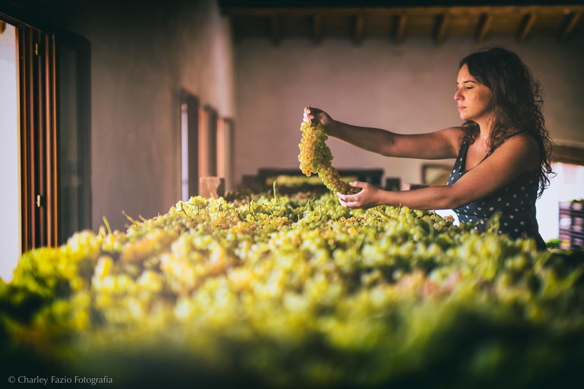 La cura dei grappoli della Garganega per il vino Soave. Foto: ConsorzioSoave,Charlie Fazio