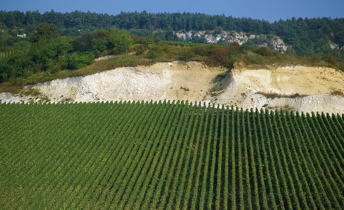 I fillari di uva per la produzione di Champagne