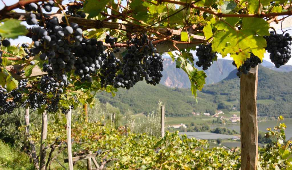 Pergola, il tipico allevamento della vite in Südtirol. Wein-Plus