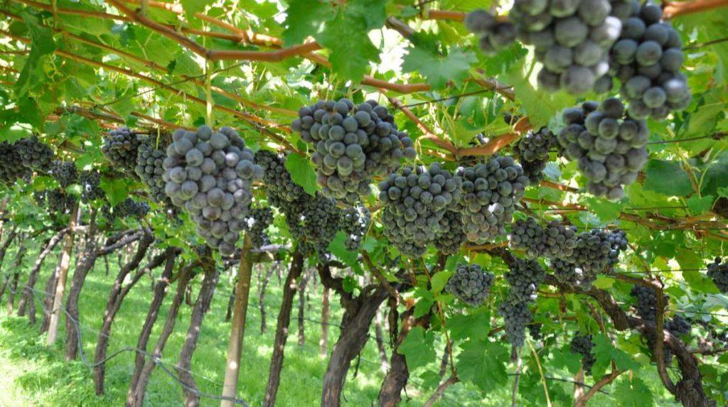 Grappoli di Vernatsch. Alto Adige 2020 - Wein-Plus