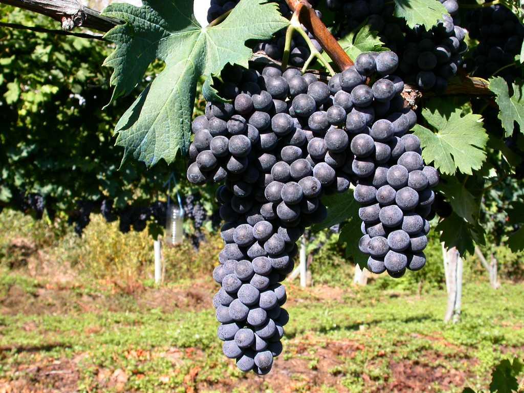 Un grappolo di Nebbiolo - vitigno principe dell' Alto Piemonte 2020 - Foto per il BEST OF di wein.plus - recensioni vini