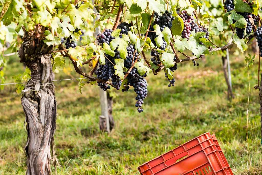 Una vite vecchia di Nebbiolo nel Piemonte del Nord. Foto per il BEST OF di wein.plus - degustazioni e recensioni di vini