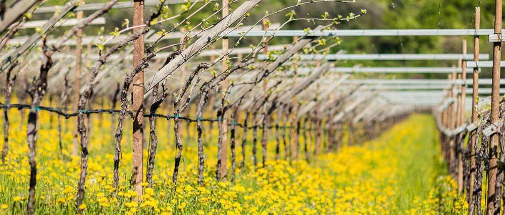 vigneto in Sudtirolo - Italia Foto: IDM/Südtirol Wein per wein.plus