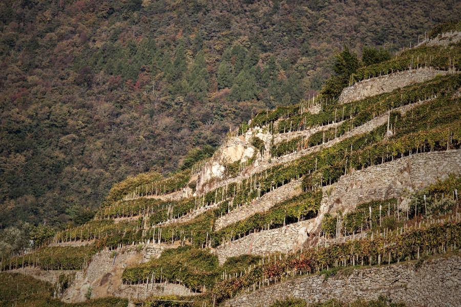 Le terrazze nella Valtellina dove crese il Nebbiolo. Foto per wein-plus per il Best of Valtellina 2021