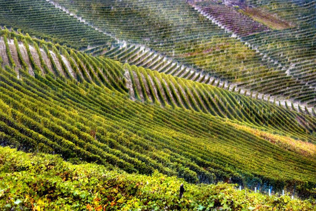 Vigneti nella zona di produzione Barbaresco - Piemonte. Foto: Buccolo. Wein-Plus Italia