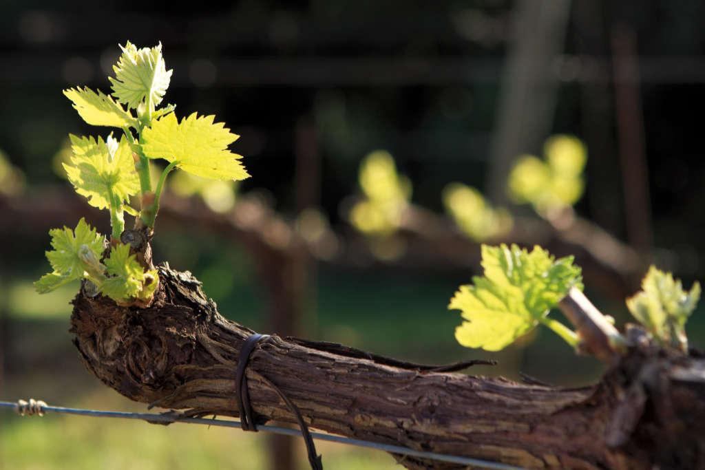 I germogli di Sangiovese. Foto: Consorzio Brunello per Wein-Plus, degustazione Best of Brunello 2015