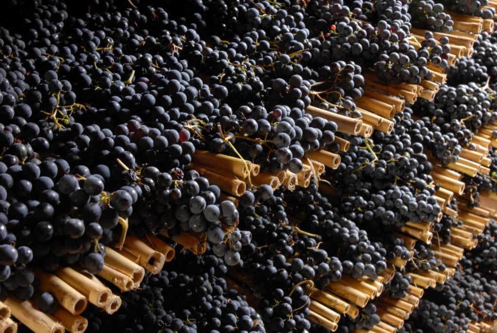 Uve di Sangiovese a essicare nella Fattoria di Sassolo a San Miniato. Foto per l'articolo Best of Chianti 2018