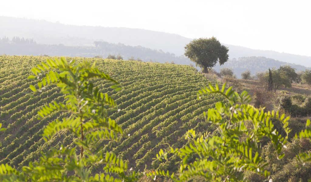 Vigneto su collina nella Toscana. Wein-Plus Italia