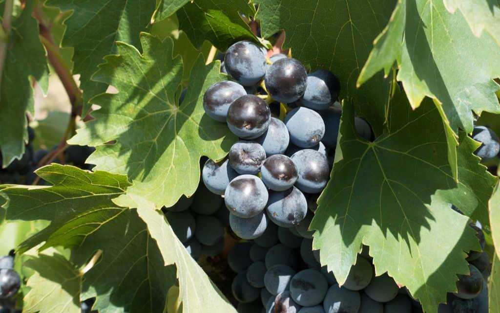 Foto d'una uva rossa sulla vite. Immagine per l'articolo Best of Chianti Classico 2019 di Wein-Plus Italia