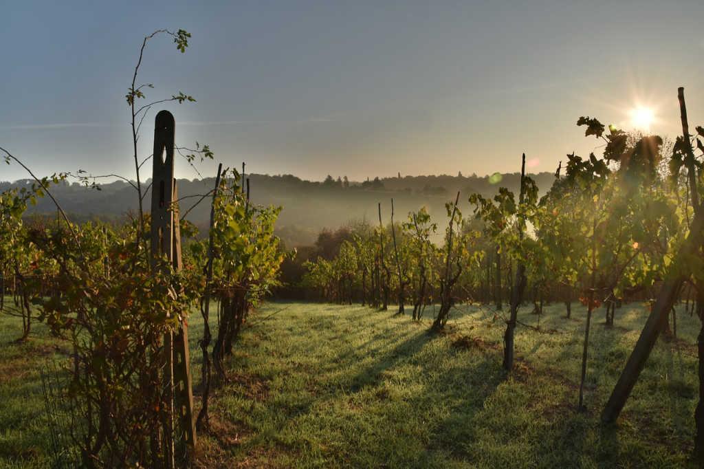Vigneto in Toscana con il brio della mattina e il sole - Foto per l'articolo Best of Chianti Classico 2019 di Wein-Plus Italia