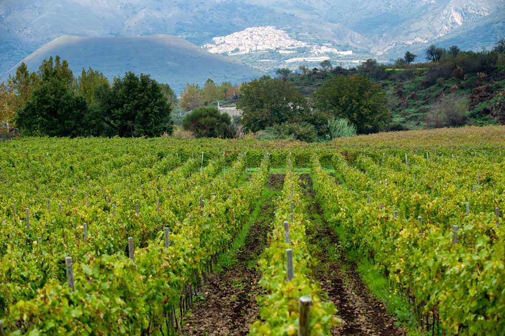 vigneti verdi vicino il vulcano nella Sicilia occidentale. Foto Consorzio per wein.plus