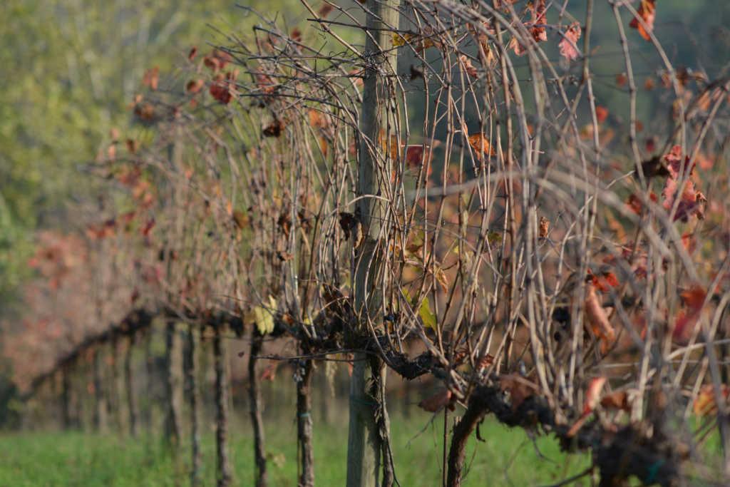 Vigneto di Lambrusco. Wein-Plus Best of Lambrusco 2018. Foto: Consorzio Lambruschi Modenesi, Carlo Guttadauro