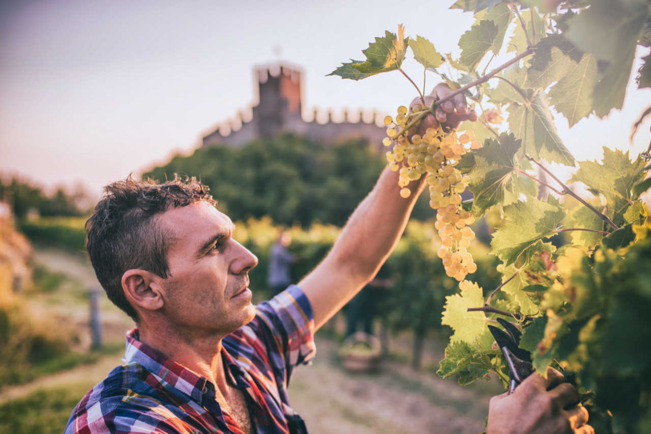 Vendemmia delle uve nella zona di produzione del Soave. Foto per il Best of Soave di Wein-Plus