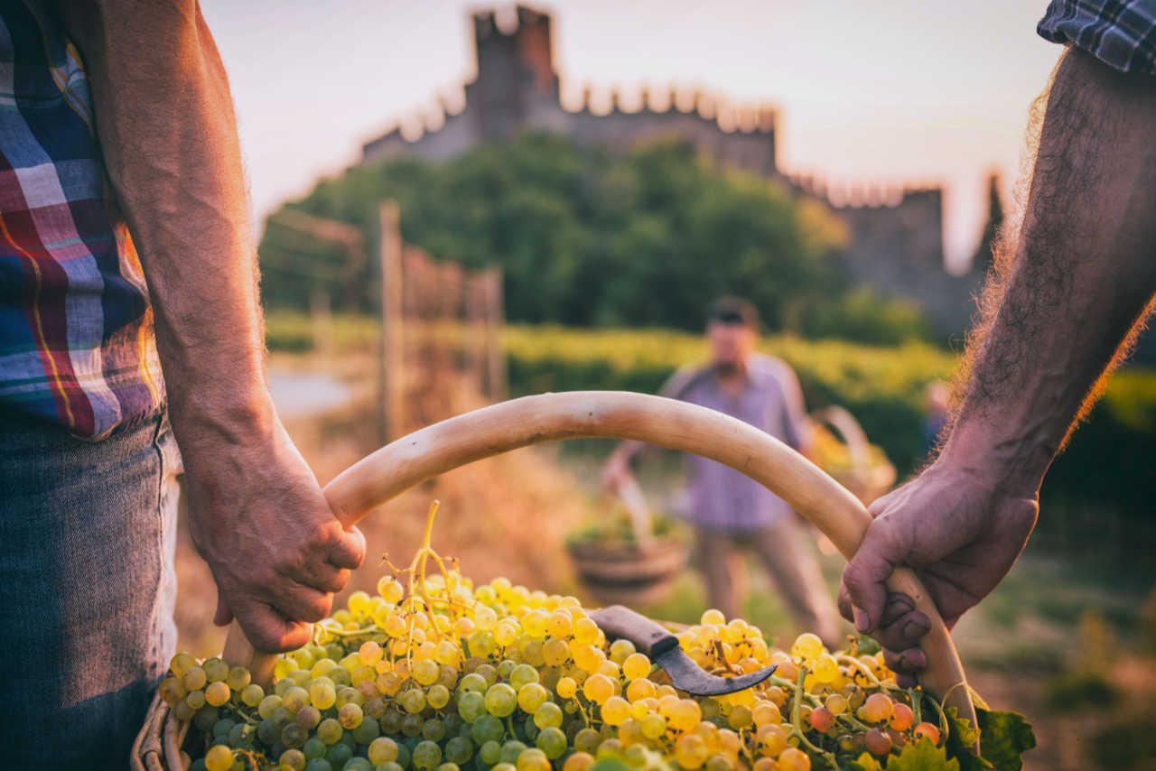 Raccolta uve per il vino Soave. Foto per il Best of Soave di Wein-Plus