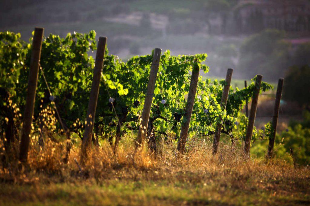 Filari di viti nell'aerea di Montalcino, zona della produzione del Brunello. Foto: Consorzio del Vino Brunello di Montalcino per l'articolo Best of Brunello 2014 di Wein-Plus