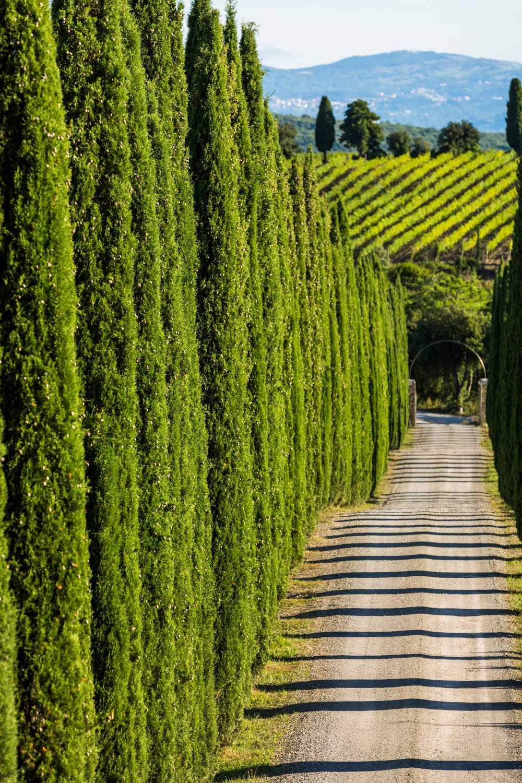 I famosi cipressi che definiscono i paesaggi in Toscana. Foto: Consorzio del Vino Brunello di Montalcino x wein.plus BEST OF Brunello
