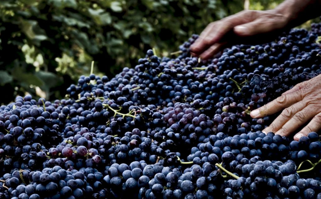 Le uve di Nebbiolo (Chiavennasca) raccolte per diventare vino Superiore DOCG. Foto: Consorzio Valtellina