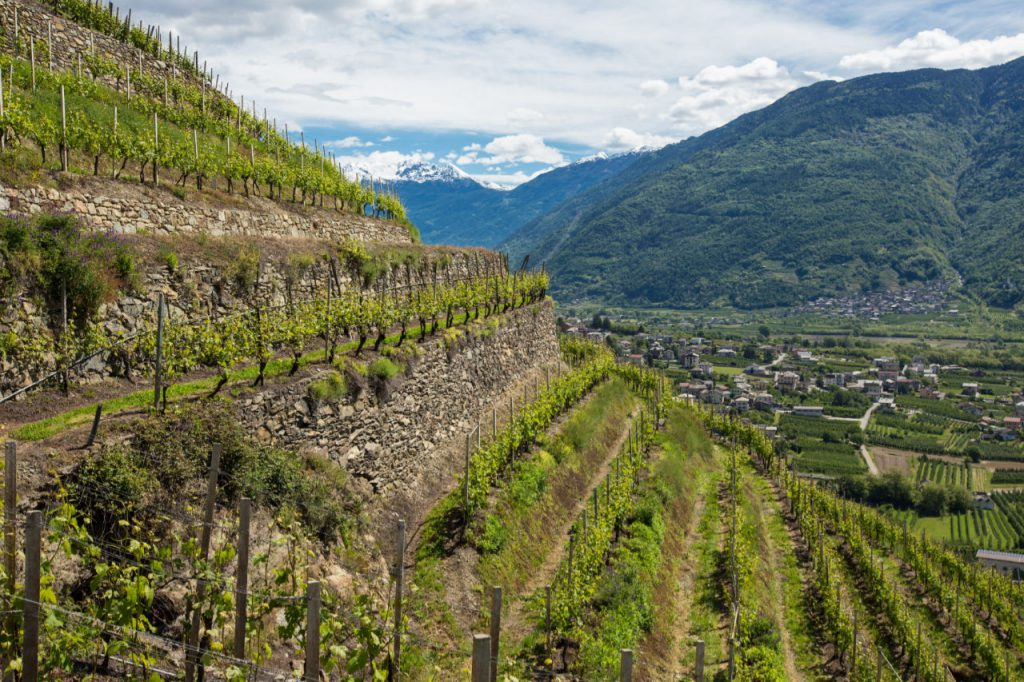 Le terrazze valtellinesi su cui si esercita una viticoltura eroica. Foto: Consorzio Valtellina