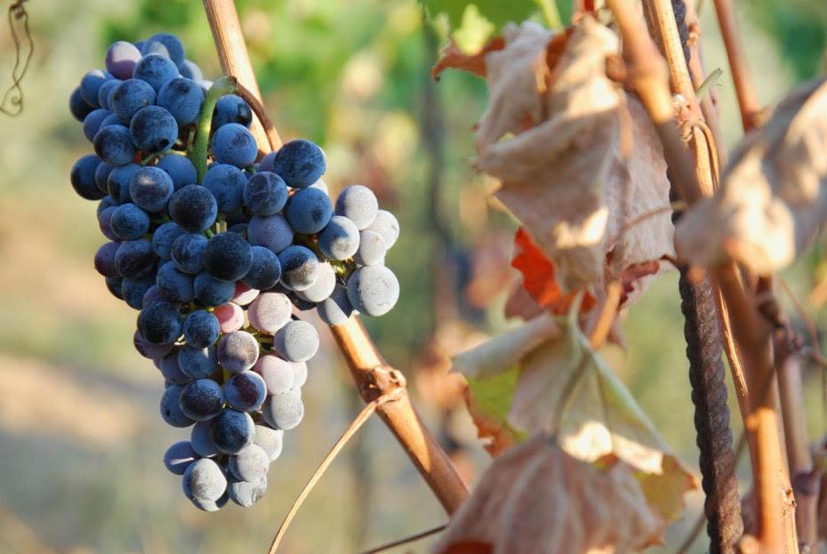 un grappolo di Sangiovese - foto per illustrare l'articolo di wein.plus sulla degustazione del famoso vino toscano