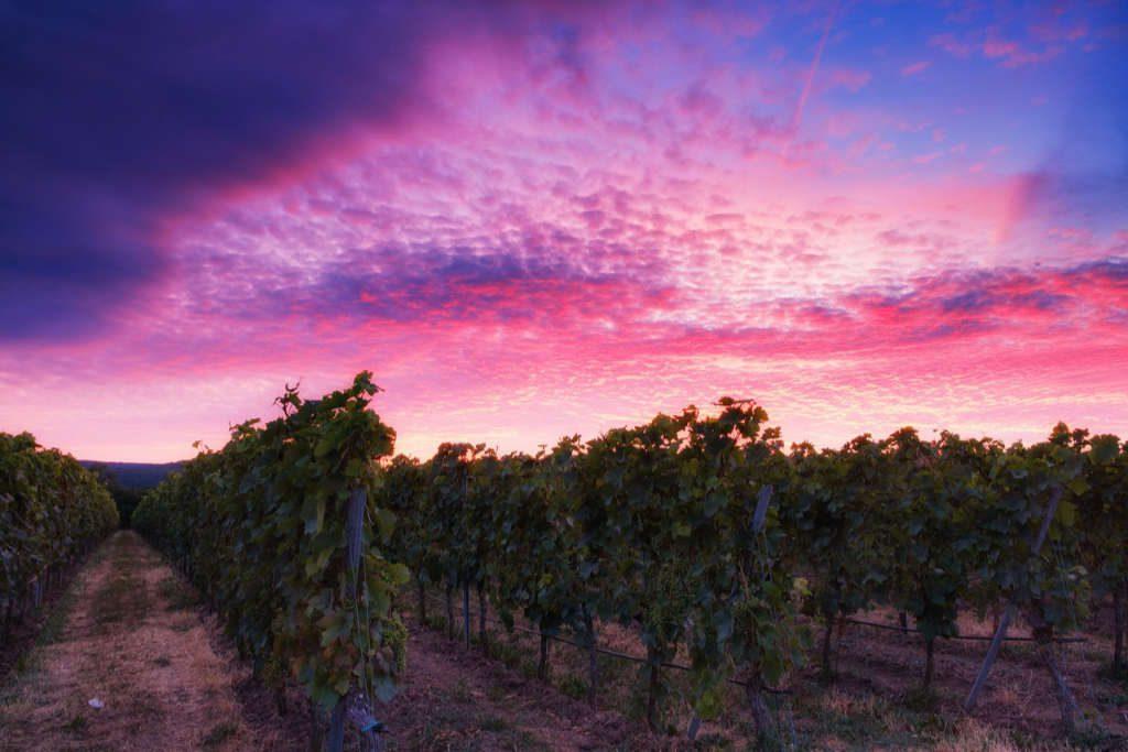 un vigneto di sera o mattina con un bellissimo cielo rosa-blu.