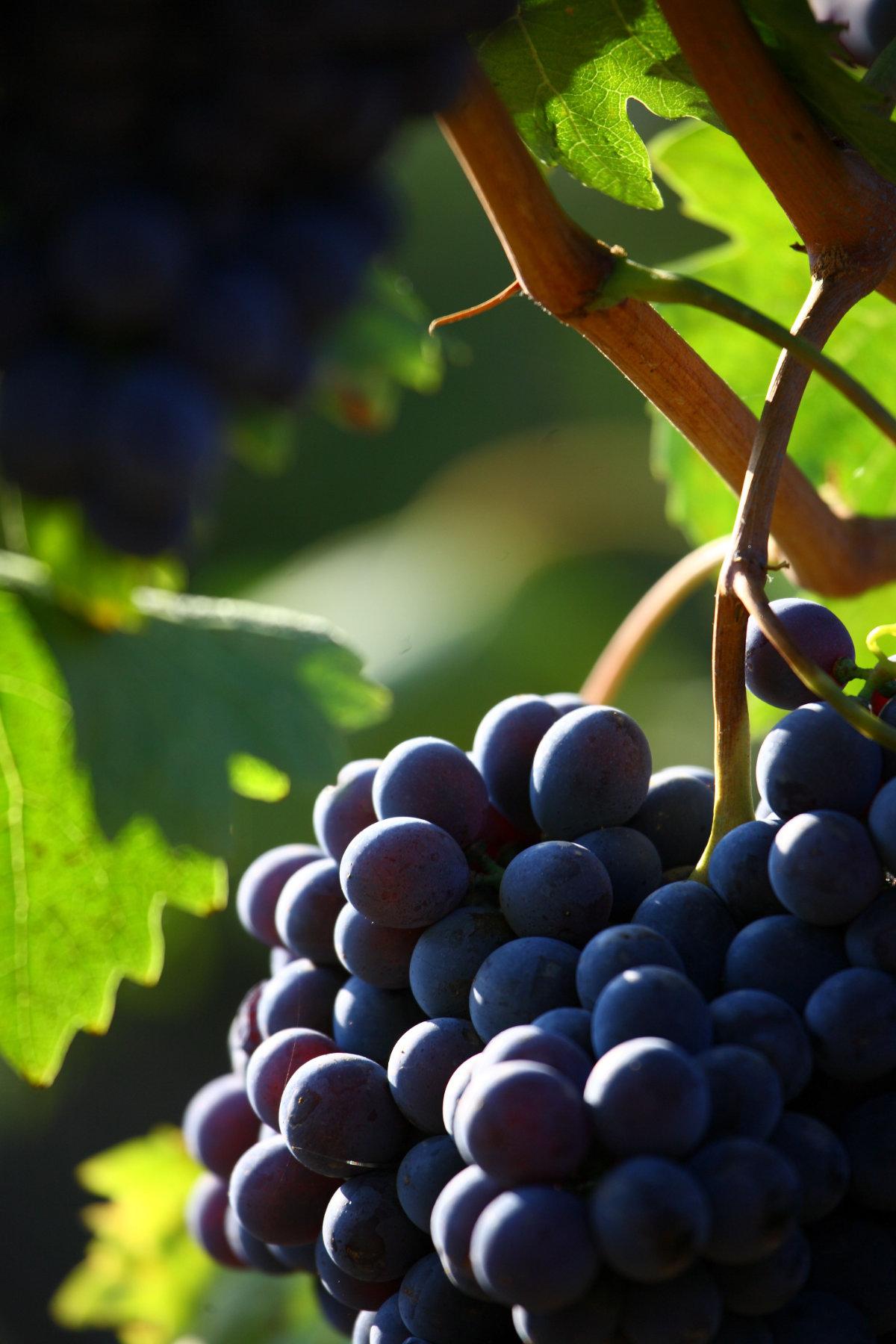 Particolare di un grappolo di Sangioves (Brunello). Foto: Consorzio del Vino Brunello di Montalcino