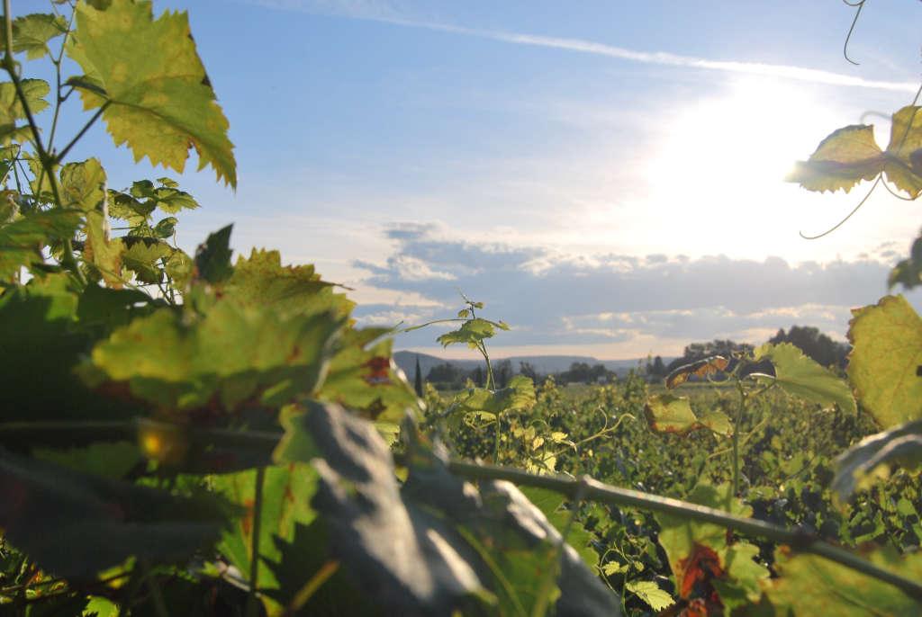 Foglie delle viti in un vigneto in Toscana. Illustrazione per l'articolo di Wein-Plus. Foto: Unsplash