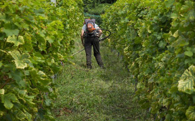 UE rafforza le norme per l'uso del rame nella viticoltura biologica