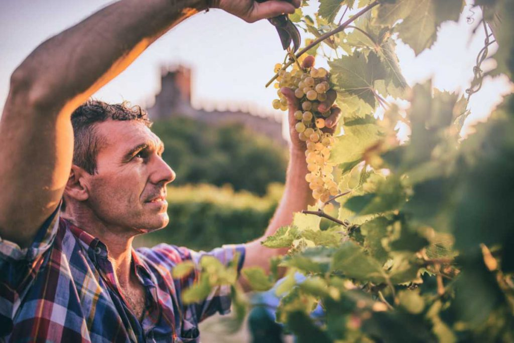 Vendemmia dell'uva Garganega. Foto per l'articolo sul sito Wein-Plus Italia - la guida dei vini eccellenti.