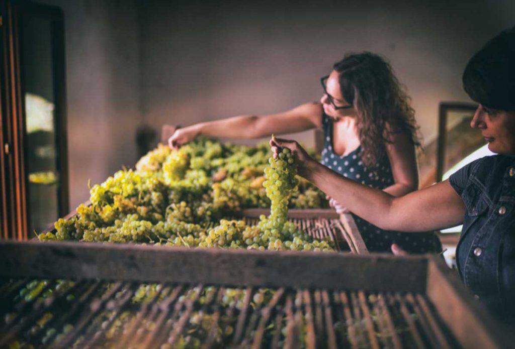 Selezione delle uve di Garganega per il miglior vino Soave. Foto per l'articolo sul sito Wein-Plus Italia - la guida dei vini eccellenti. Foto: Consorzio Soave