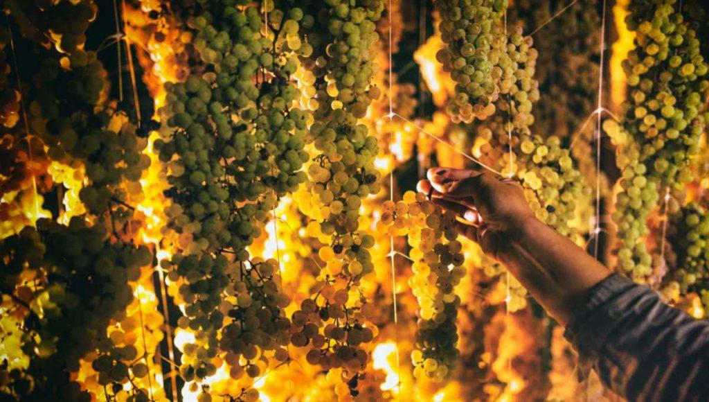 Appassimento delle uve Garganega per il Recioto di Soave. Foto per l'articolo Best of Soave 2020 di Wein-Plus - la guida dei vini eccellenti. Foto: Consorzio Soave