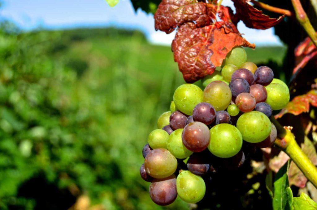 Un grappolo d'uva nello status d'invaiatura. Articolo Wein-Plus Italia: Focus Italia 2018