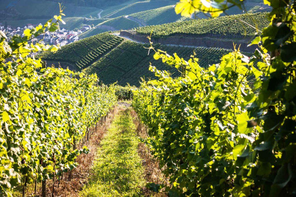 Vallata con i vigneti. Articolo Wein-Plus Italia: Focus Italia 2018