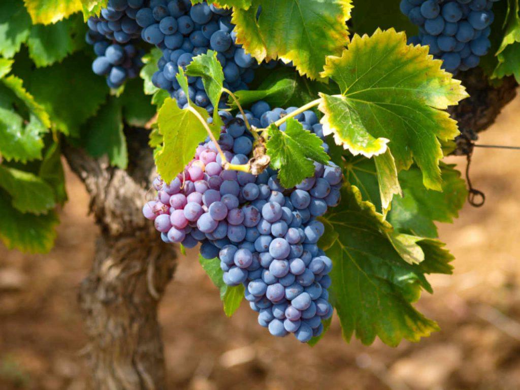 Grappolo d'uva nrossa quasi maturo. Articolo Wein-Plus Italia: Focus Italia 2018