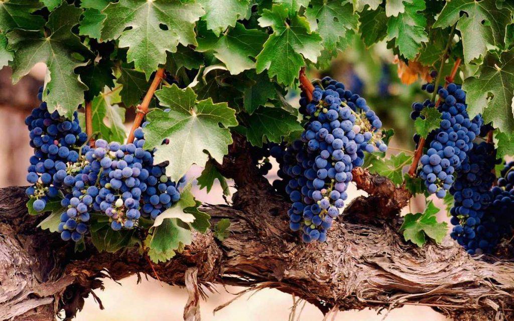 Si vede una vite vecchia con uve nere. Sulla piattaforma del vino wein.plus si trova tutto suvino: un gloassario, le recensioni dei vini, una rivista online e molto altro ...