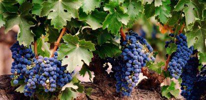 Piattaforma del vino